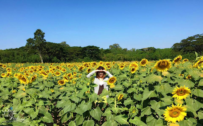 muak lek sunflower field