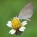 A Grass Blue Butterfly