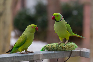Green parrots at home