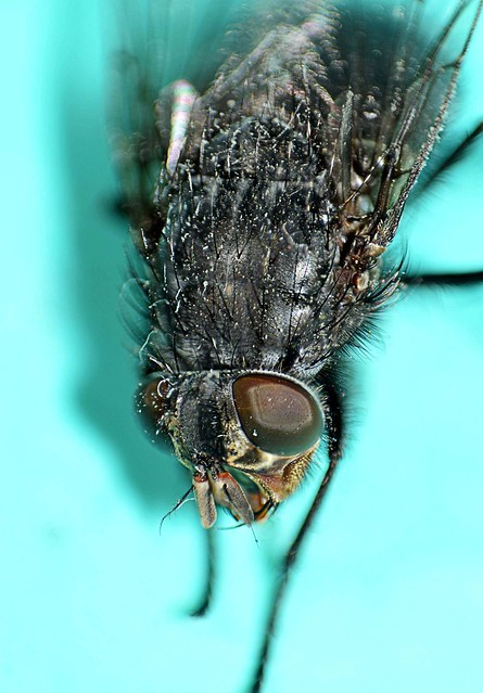 housefly-fly