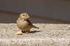 American Tree Sparrow-2016-1.jpg