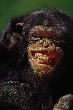 chimp yoroshiku