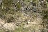 Roadrunner 2 (Crop), Sabino Canyon near Tucson Arizona