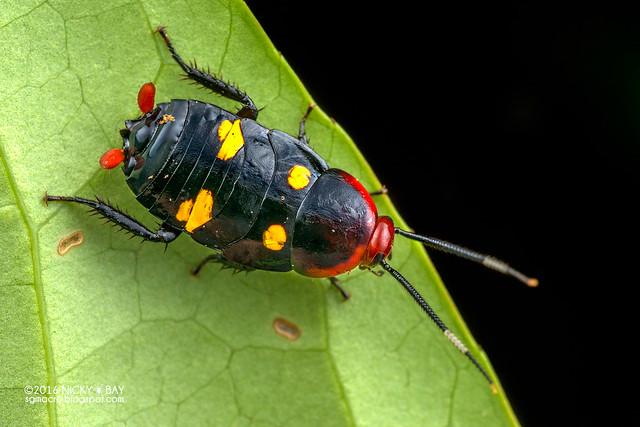 Cockroach nymph (Blattodea) - DSC_2897
