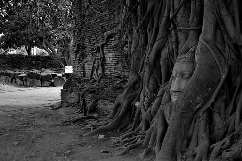 travel viaje wild blackandwhite bw naturaleza tree nature monochrome wall thailand arbol pared mono monocromo famous roots tailandia bn thai buddah buda viajar ayutthaya 2014 raices famoso salvaje watphramahathat