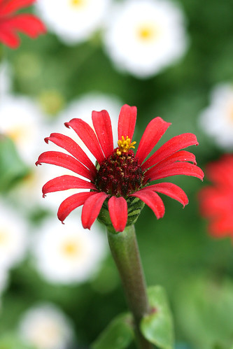 zinnia_red_spider
