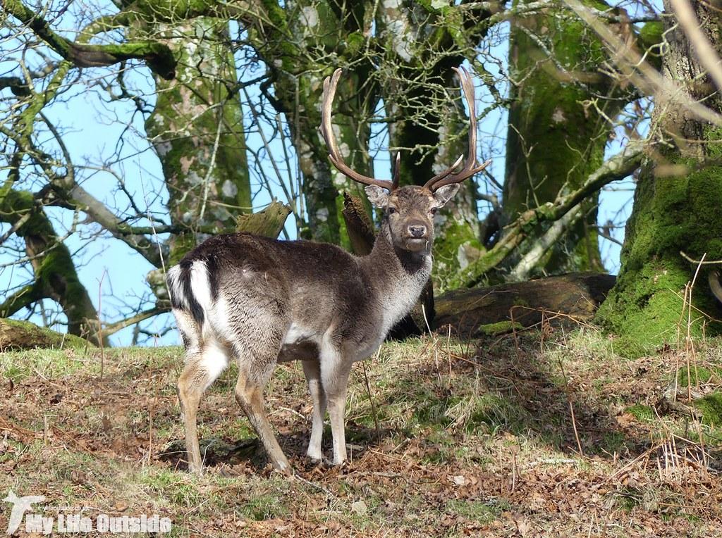 P1000231 - Fallow Deer, Dinefwr