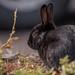 Black Bunny Rabbit