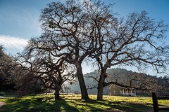 #oaktree, #landscapephotography, #park, #forttejon, #tree, #green, #outdoors, #travelphotography, #california, #statepark, #historicpark