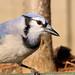 Blue Jay 111515 (6)