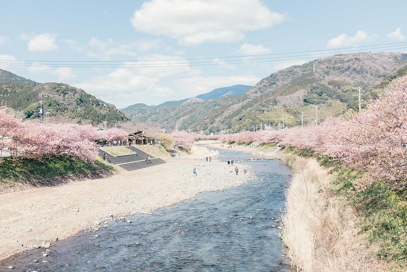 160229-0304 東京行:河津櫻花