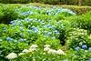 Photo:Mimuroto-ji, Hydrangea -1 (June 2009) By Tetsuhiro Terada