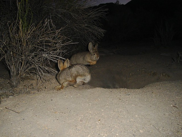 pair of pygmy rabbits