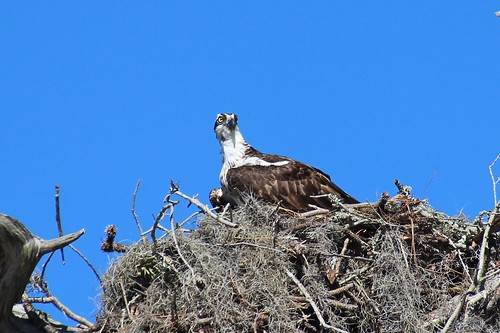 IMG_7012_Osprey_on_Nest_at_Anclote_Beach