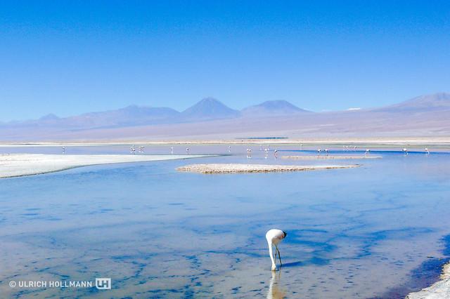 Andean flamingo at Salar de Atacama, Chile