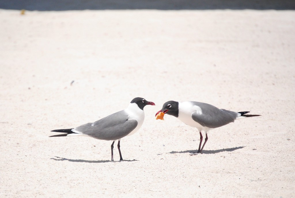 Islamorada birds eating