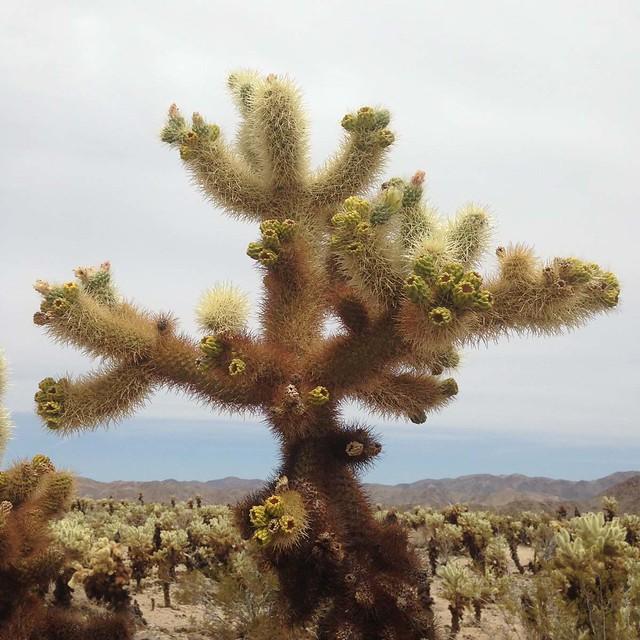 joshua-tree_56