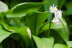 Ramsons (Allium ursinum) leaves and flowers