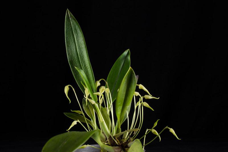 Bulbophyllum ankylochele 24188512482_e99cdb9283_c