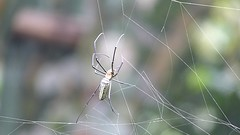 Spider fixed web then lay in wait