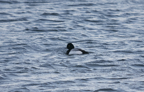 Scaup Type, Rookery North, 30th January 2016