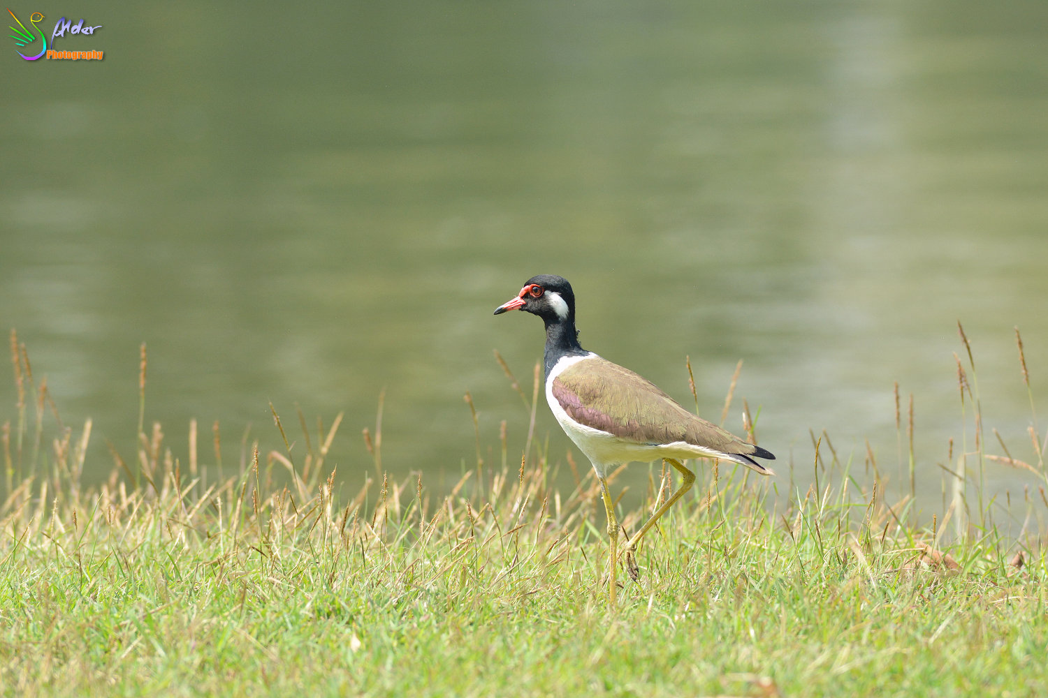 Red-wattled_Lapwing_9631_IJFR