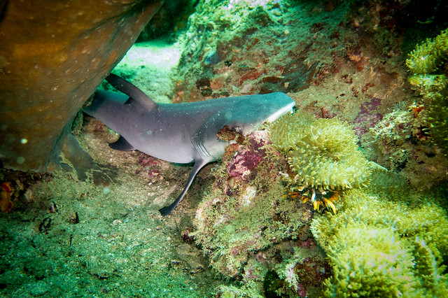 Nurse shark - Ko Lipe diving via TinyBlackBird.com