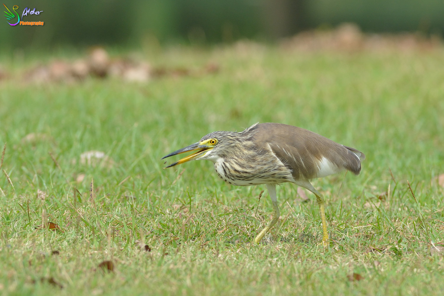 Chinese_Pond_Heron_1384