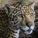 Valerio...Becoming a Jaguar
