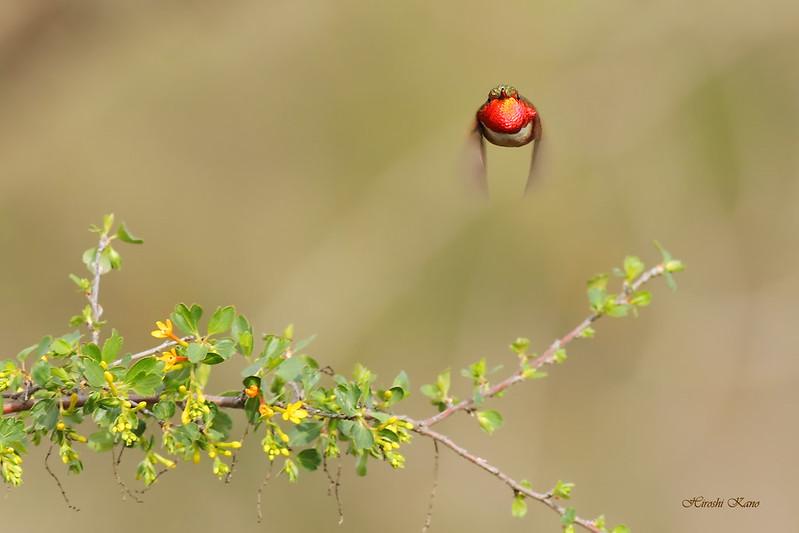 Allen's Hummingbird 2702162