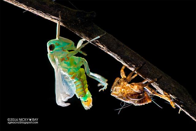 Planthopper (Fulgoromorpha) - DSC_6018