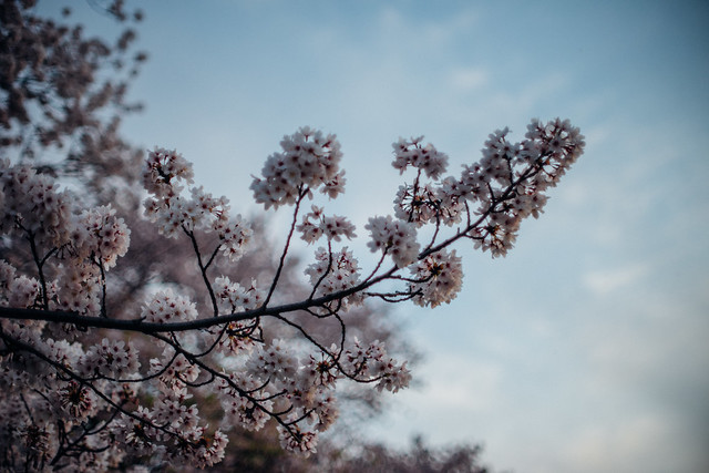 CherryBlossoms_406