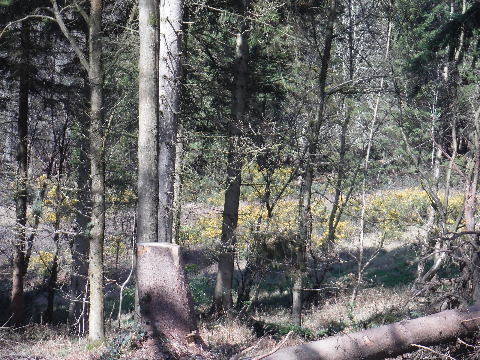 Burgess Copse (II) SWC Walk 260 Aldermaston to Woolhampton [Midgham Station] (via Frilsham)
