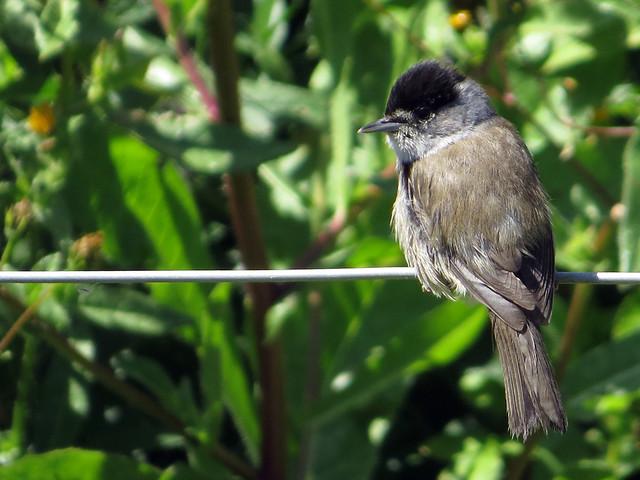 Madeira Eurasian Blackcap