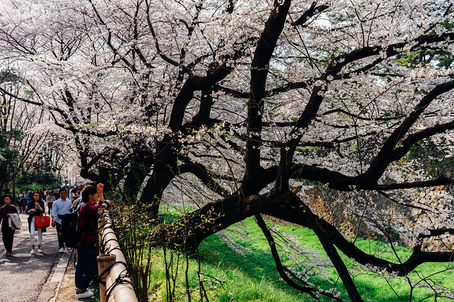 CherryBlossoms_159