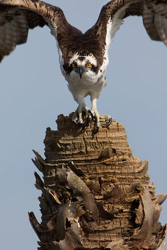 osprey pandionhaliaetus