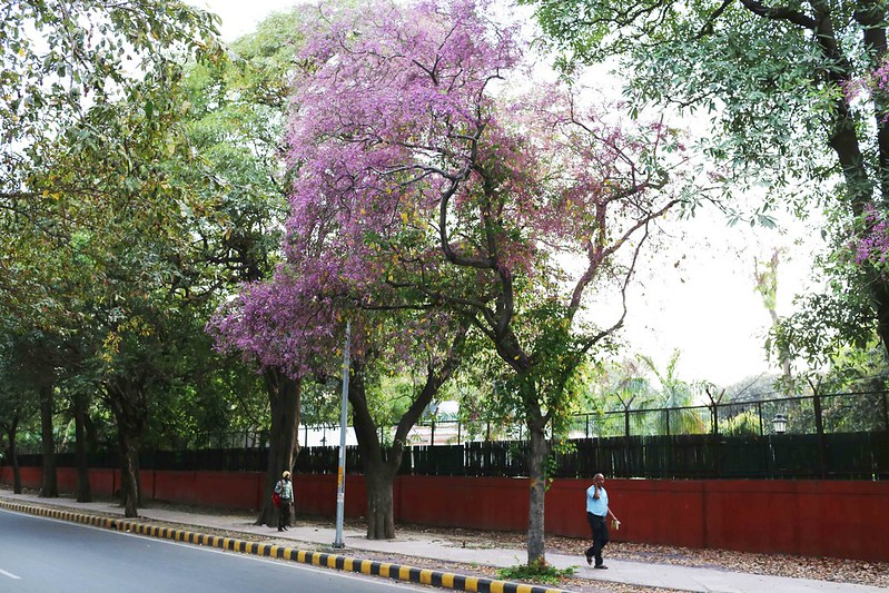 City Nature - The Blues Strokes of a Mysterious Tree, Maharshi Raman Road