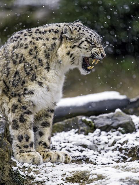 Djamila yawning and showing her teeth