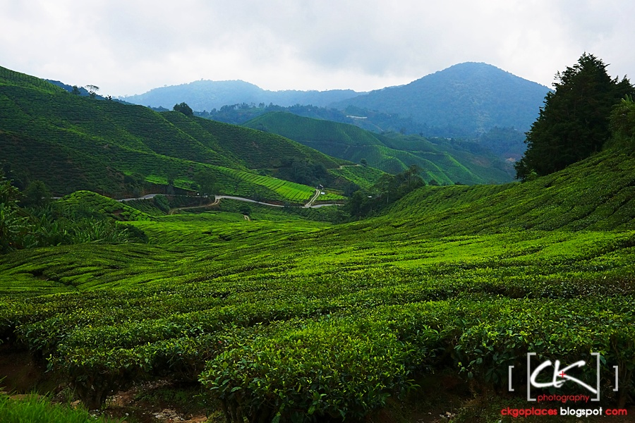 Cameron_Highlands_024