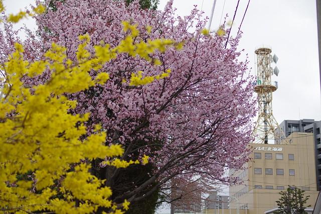 東北地区桜3