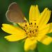 Blue Grass butterfly again