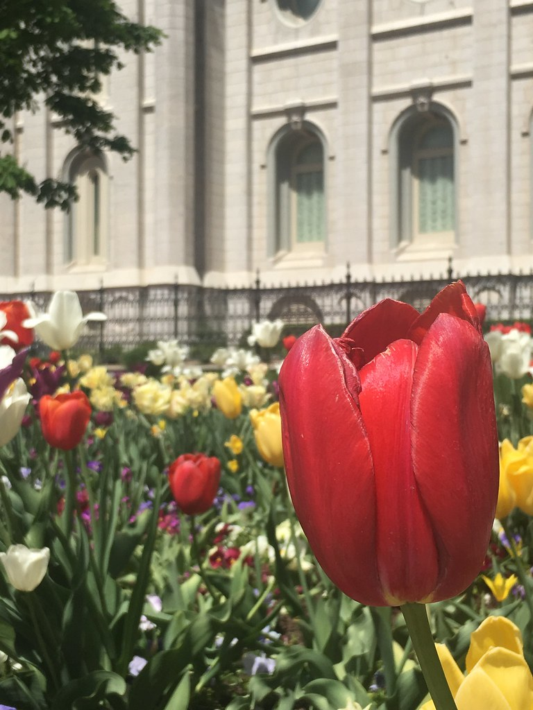Tulips at Temple Square