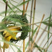 Small photo of African Golden Weaver starting a nest