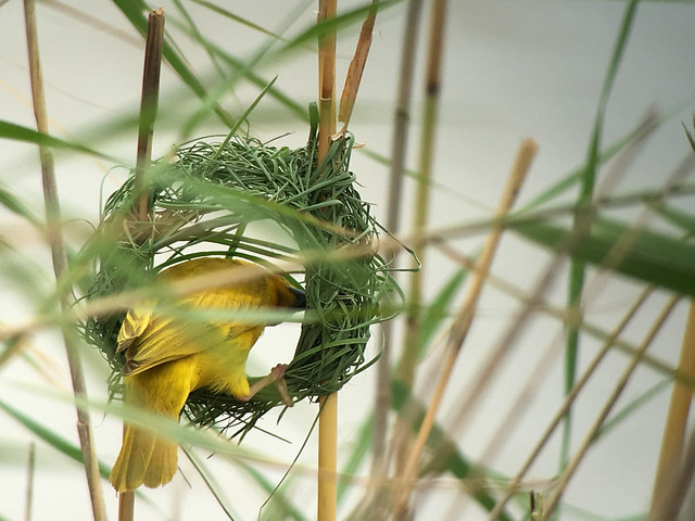 Header of African Golden Weaver
