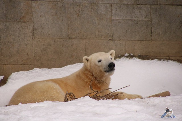Eisbär Fiete im Zoo Rostock 23.01.2016  0142