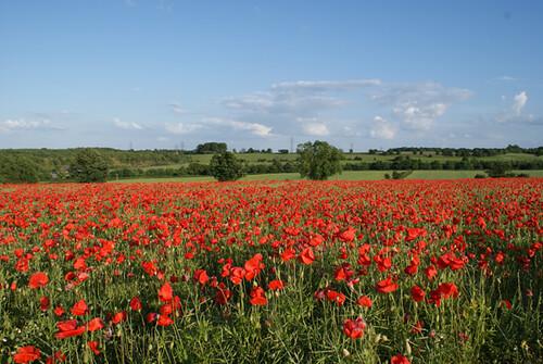Poppy Field 6
