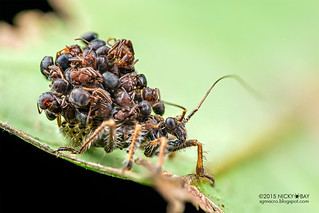 Ant-snatching assassin bug nymph (Acanthaspis sp.) - DSC_1085