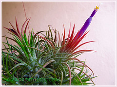 Eye-catching fully bloomed Tillandsia ionantha (Tilly, Air Plant, Blushing Bride, Sky Plant), Dec 27 2015