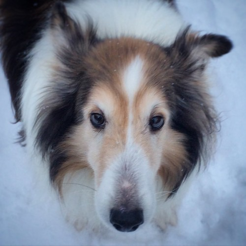 Cuppercakes the very sweet Sheltie.