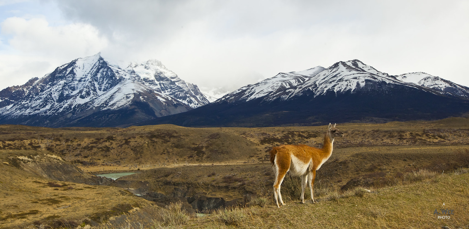 Guanaco at the park